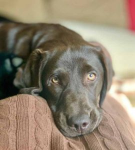 brookline labrador retriever rescue